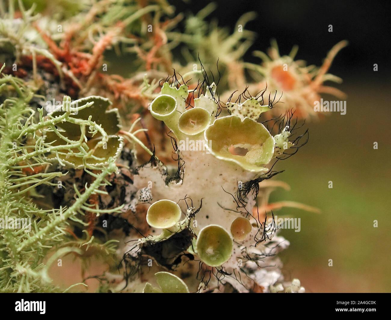 Flechten auf einem Ast in einer symbiotischen Beziehung mit verschiedenen Pilzen und Algen. Stockfoto