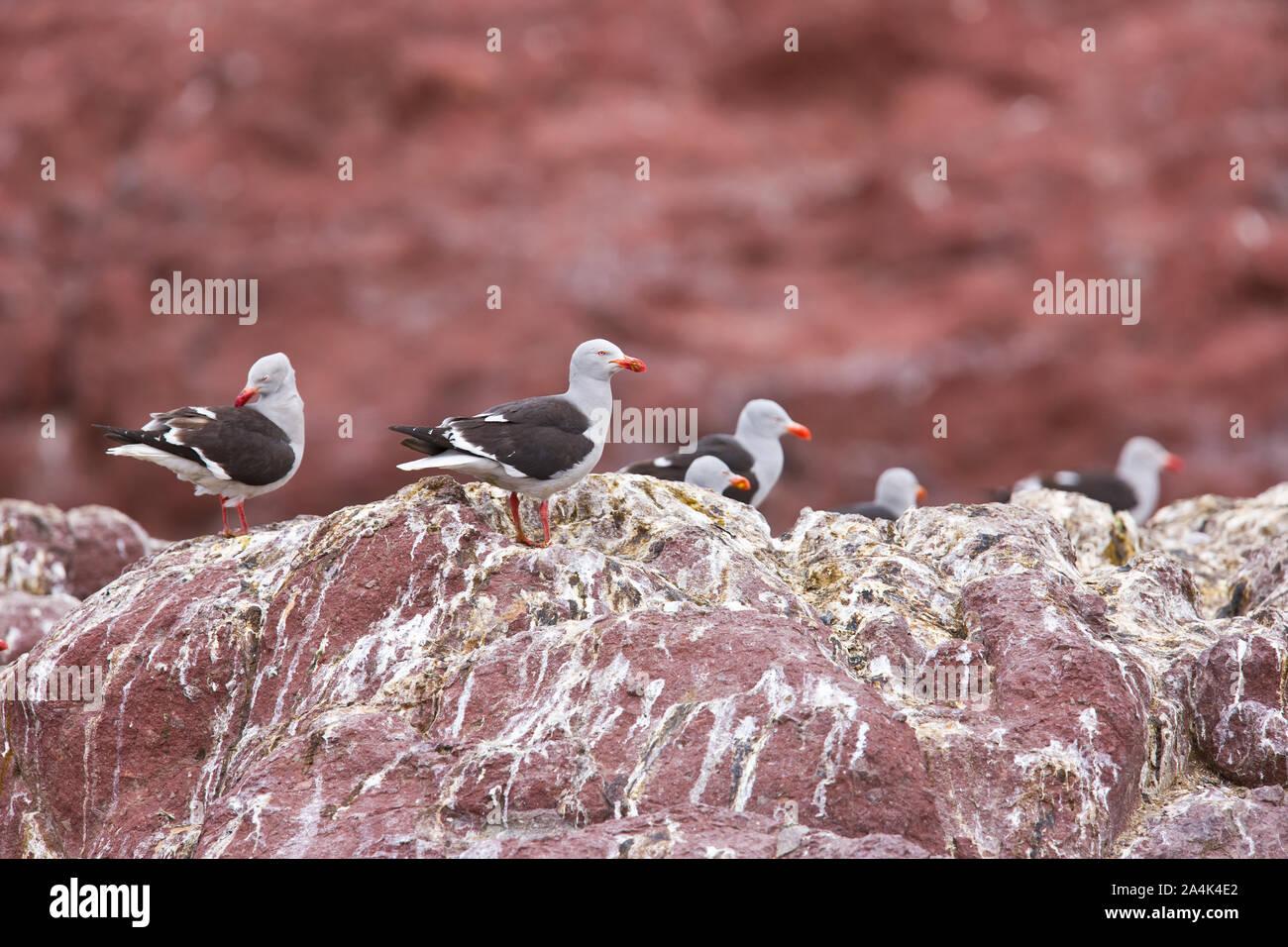 Gaviota gris (scoresbii Leucophaeus) Isla Pingüino, Puerto Deseado, Patagonien, Argentinien Stockfoto