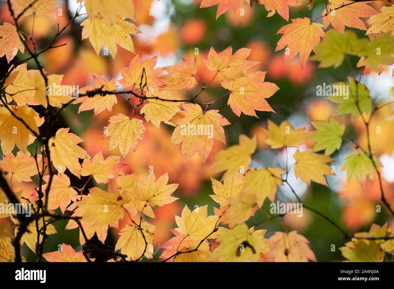 Acer japonicum vitifolium. Downy japanischen Ahorn Blätter im Herbst Stockfoto