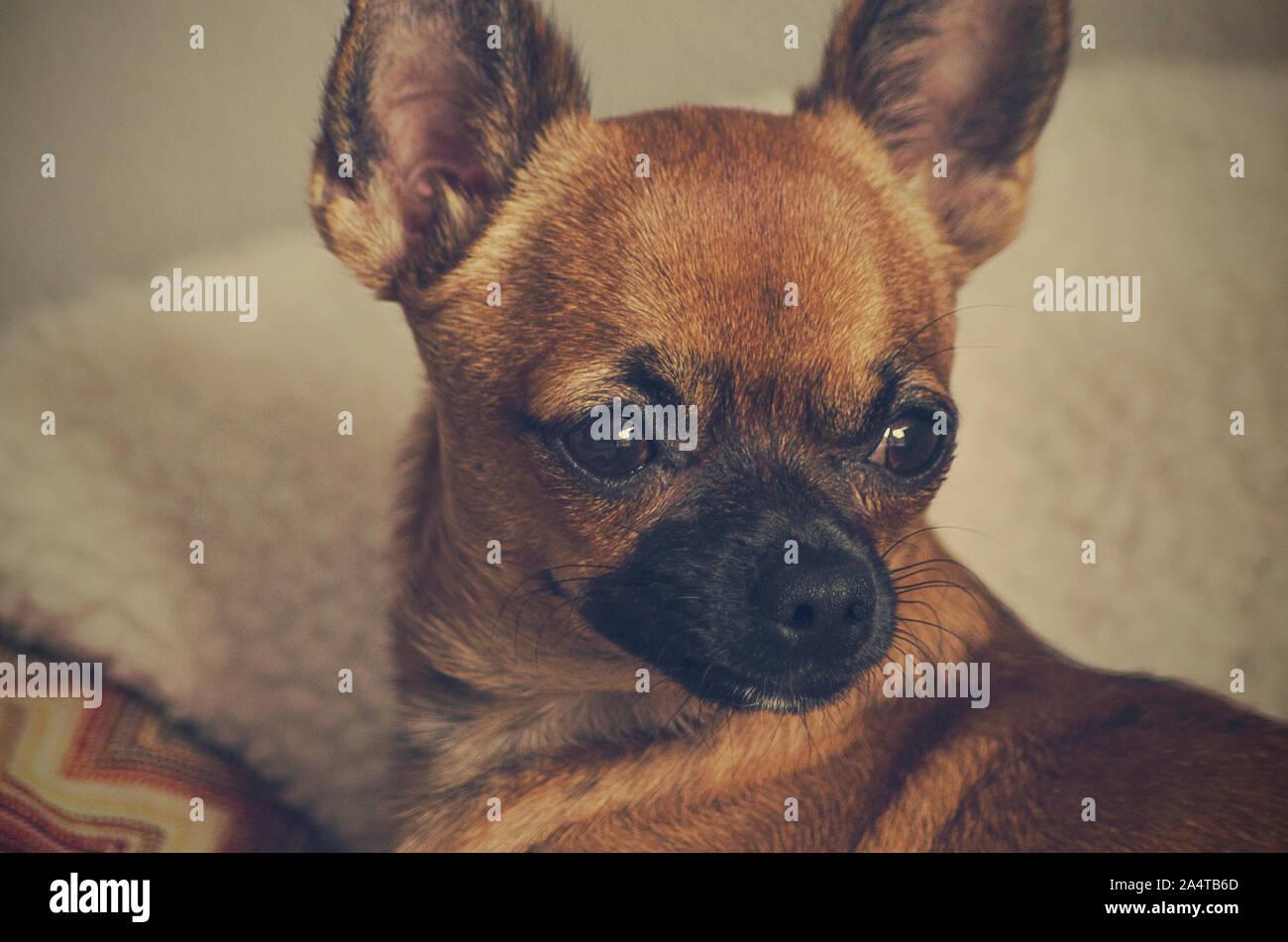 Lazy Chihuahua Stockfotos Und Bilder Kaufen Alamy