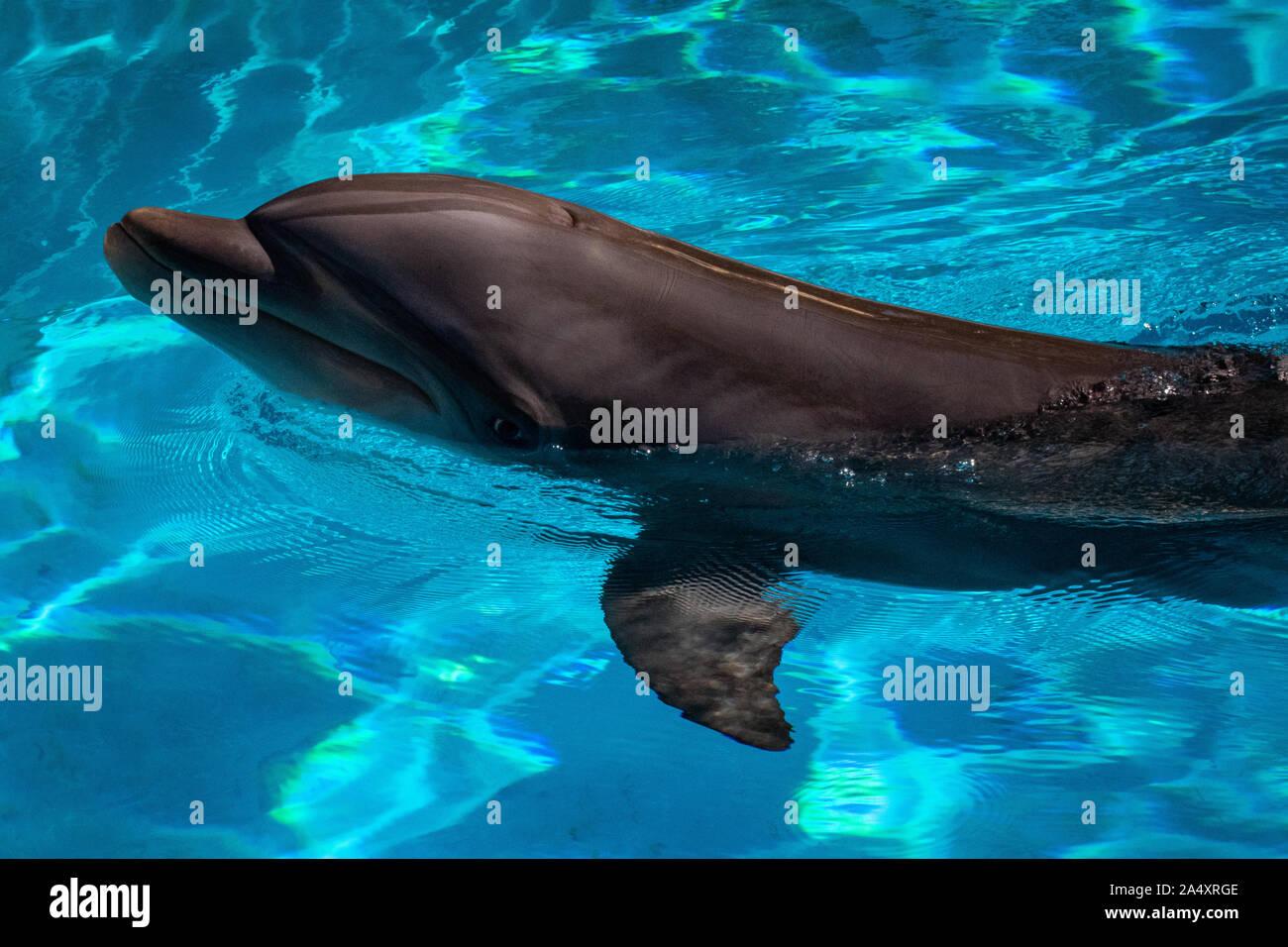 Dolphin stößt seinen Kopf aus dem Wasser Stockfoto