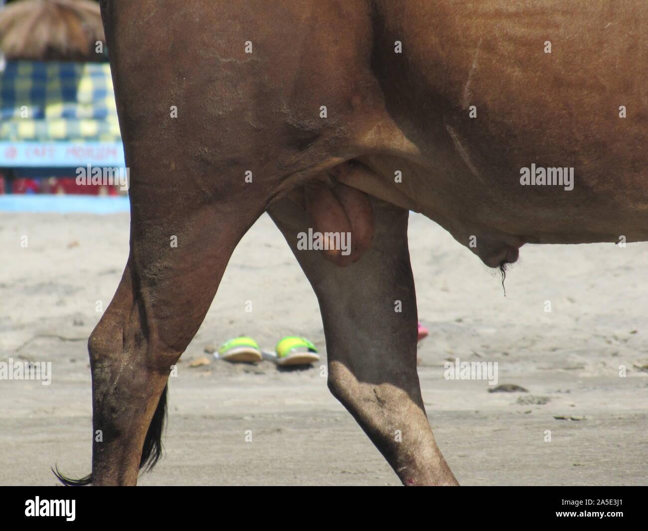 Hoden pferde Empathische Kastrationsfantasien