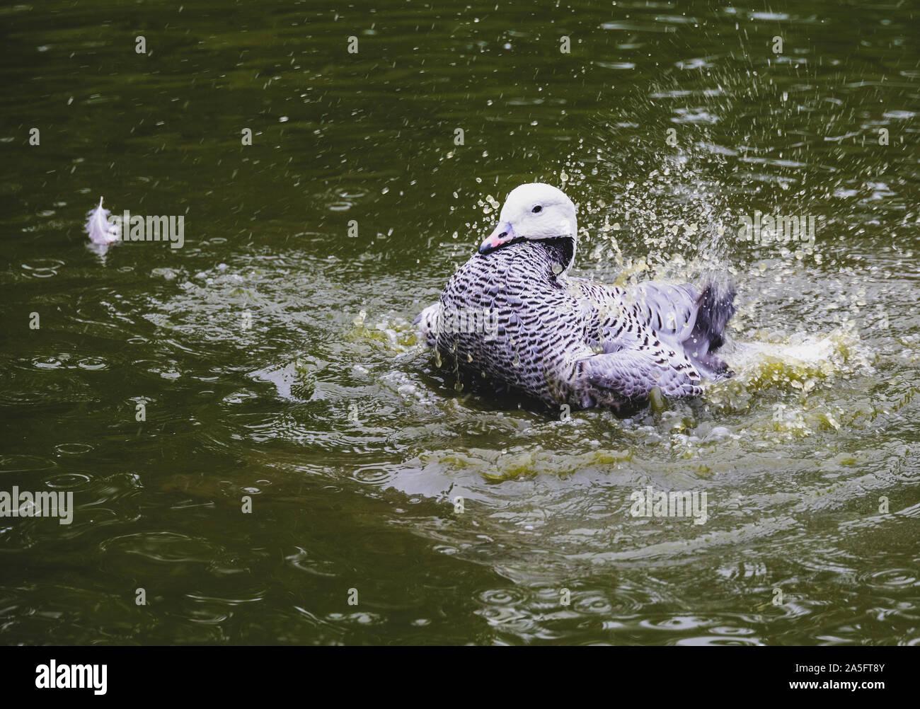 Ente seine Federn in einem Teich, England ruffling, Vereinigtes Königreich Stockfoto