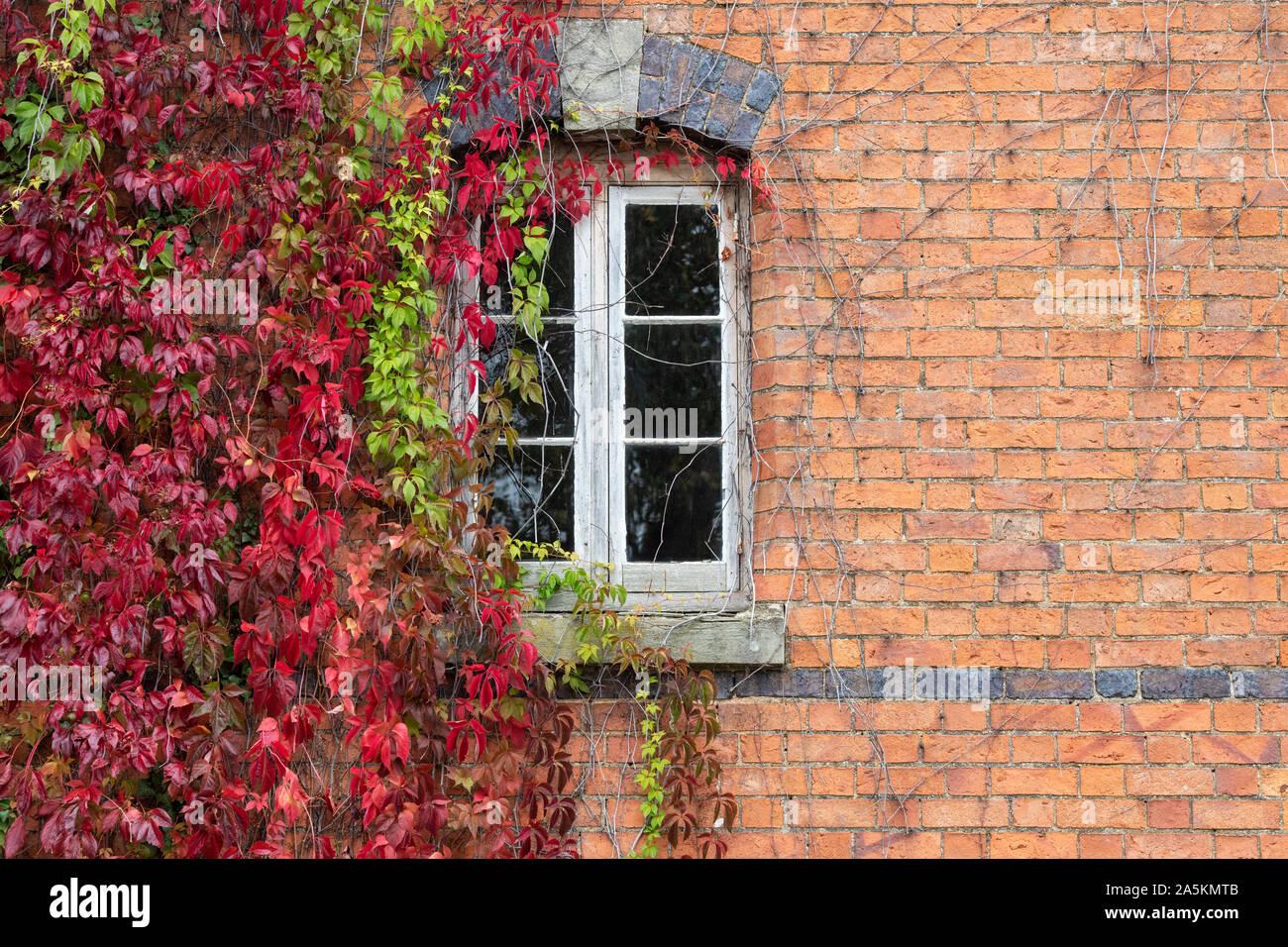 Parthenocissus Subtomentosa. Virginia Creeper/amerikanischen Ivy für ein rotes Backsteinhaus in der Burmington, Warwickshire, Großbritannien Stockfoto