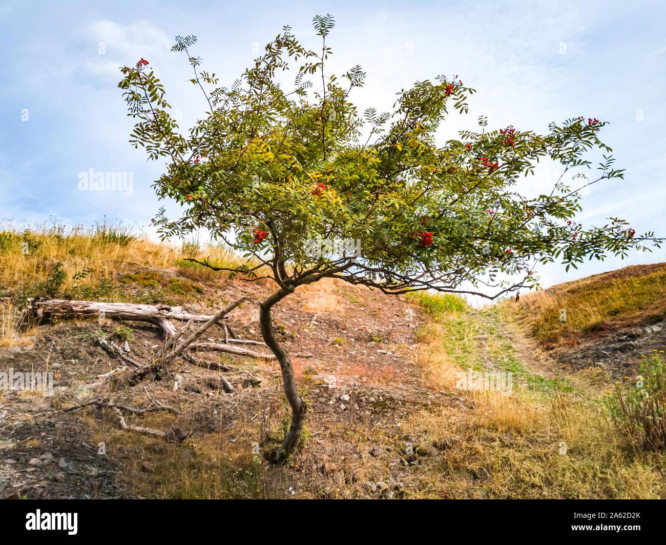 Eberesche Baum, Sorbus aucuparia, auf einem Hang in der Wildnis. Stockfoto