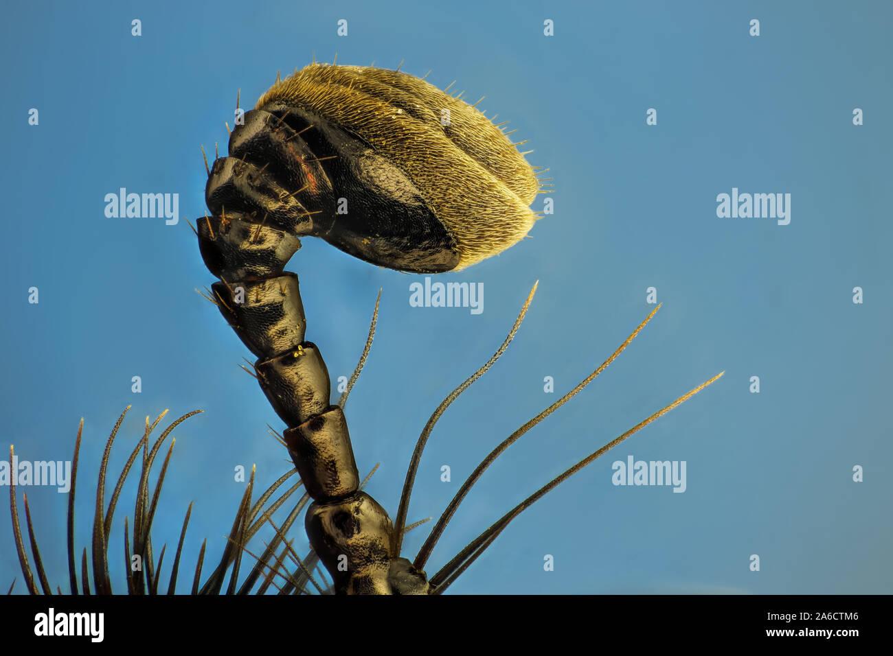 Anoplotrupes stercorosus, die mistkäfer, ist eine Pflanzenart aus der Gattung der Erde - langweilig Mistkäfer. Skogstordyvel Stockfoto