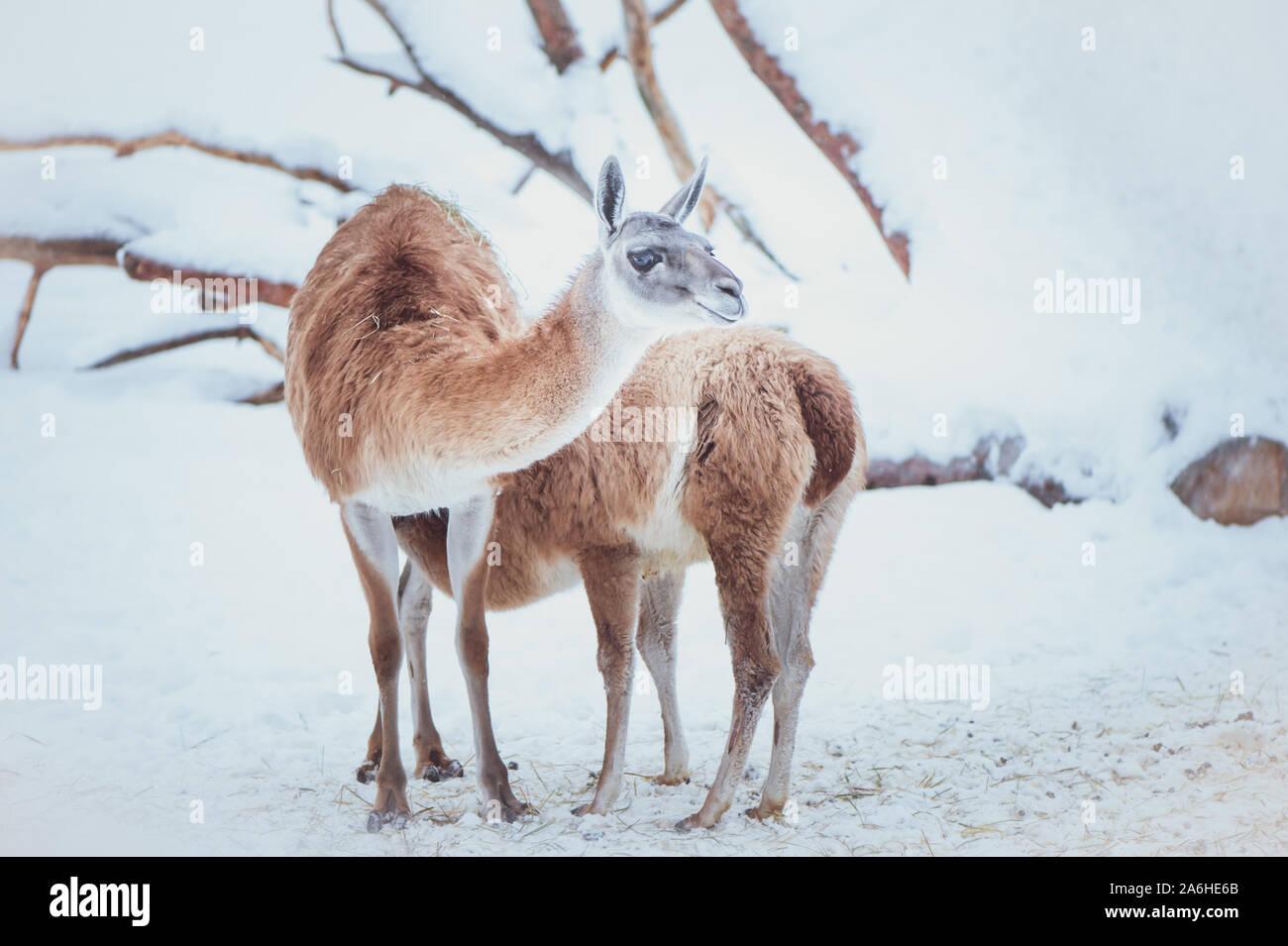 Zwei Guanacos, Mutter und Baby auf einer natürlichen Winter Hintergrund, Porträt Stockfoto