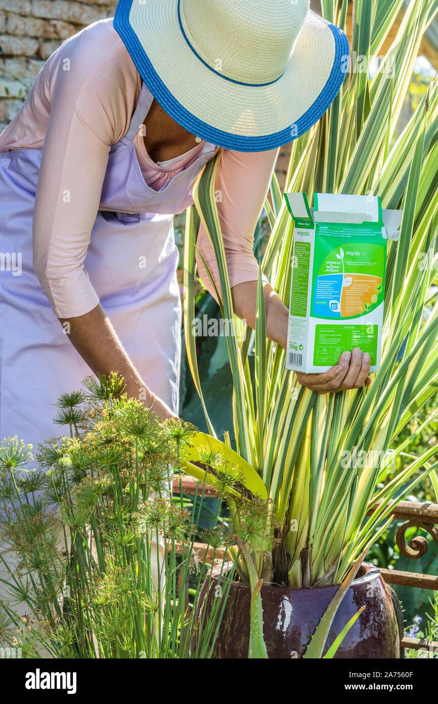 Frau Dünger zu bringen eine bunte phormium in einem Topf wachsen, im Sommer Stockfoto