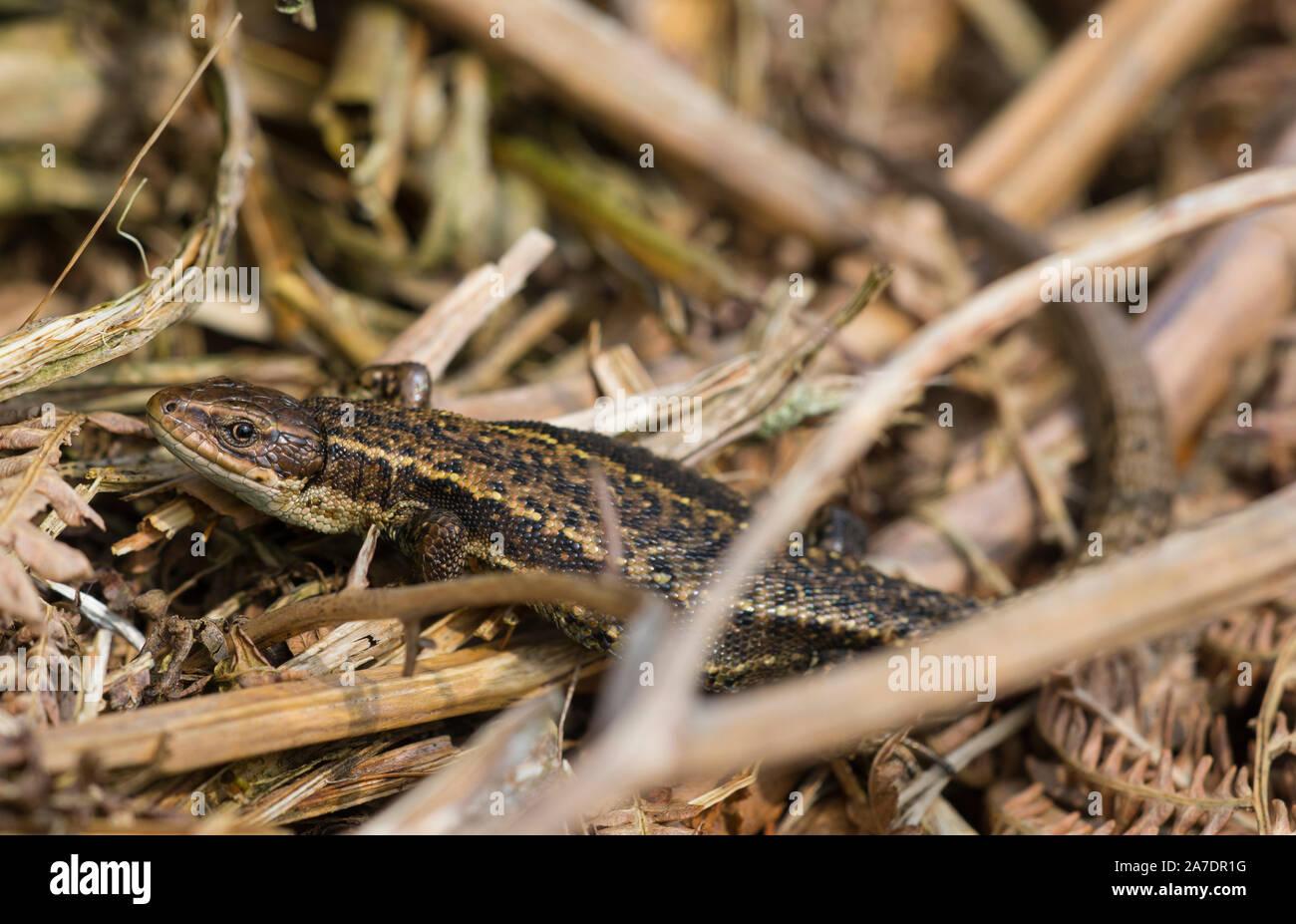 Männliche common/lebendgebärenden Lizard (Zootoca Vivipara) Aalen in Nordengland Pennines. Stockfoto