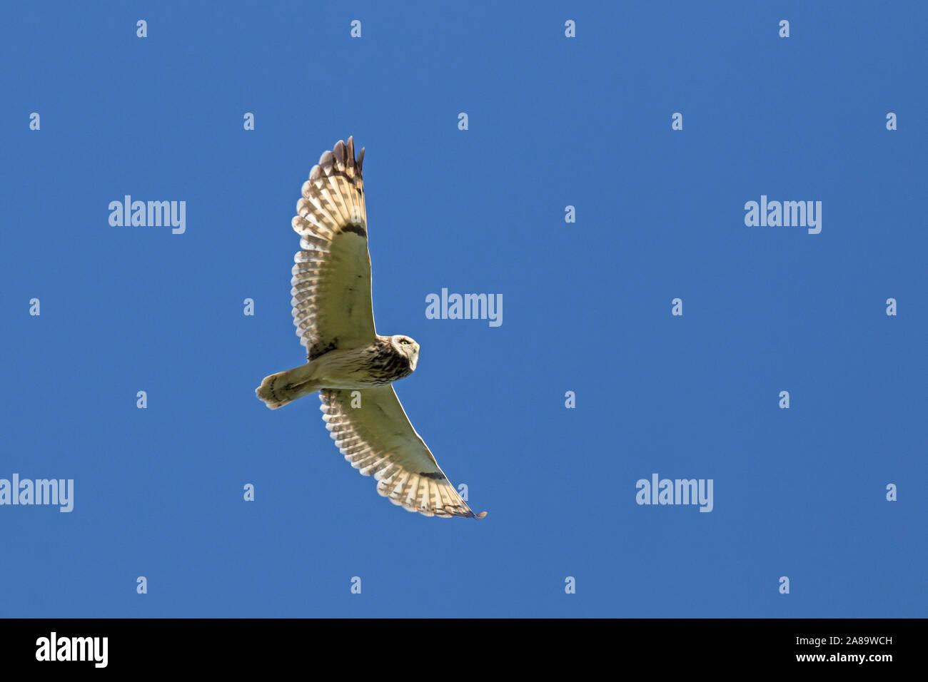 Sumpfohreule (Asio flammeus/Asio accipitrinus) im Flug gegen den blauen Himmel Stockfoto