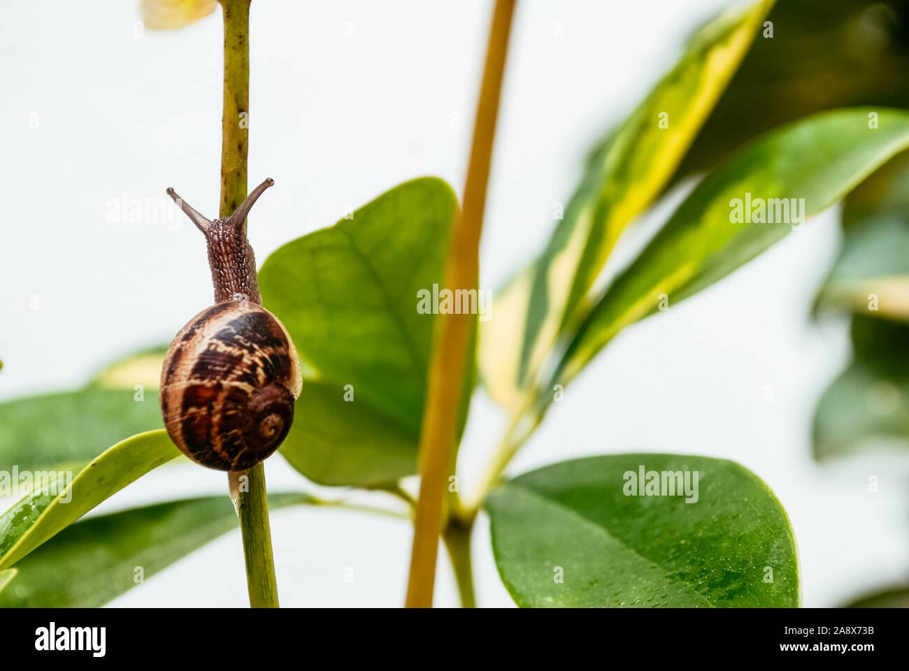 Gemeinsamer Garten Schnecke kriecht auf grünem Stiel der Pflanze Stockfoto