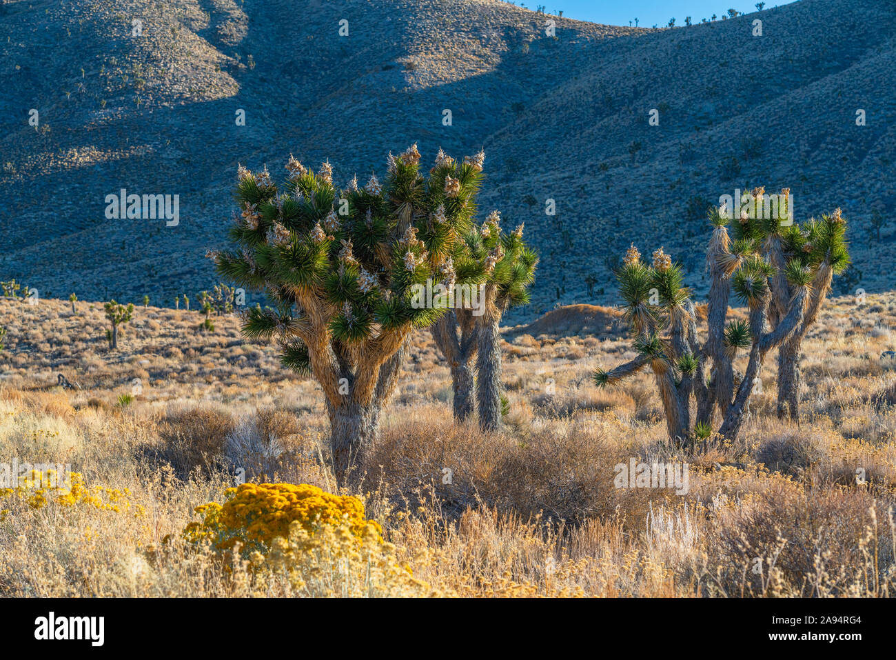 Morgen in der Wüste. Wunderschöne Joshua Bäume in Blüte, und die Berge im Hintergrund Stockfoto