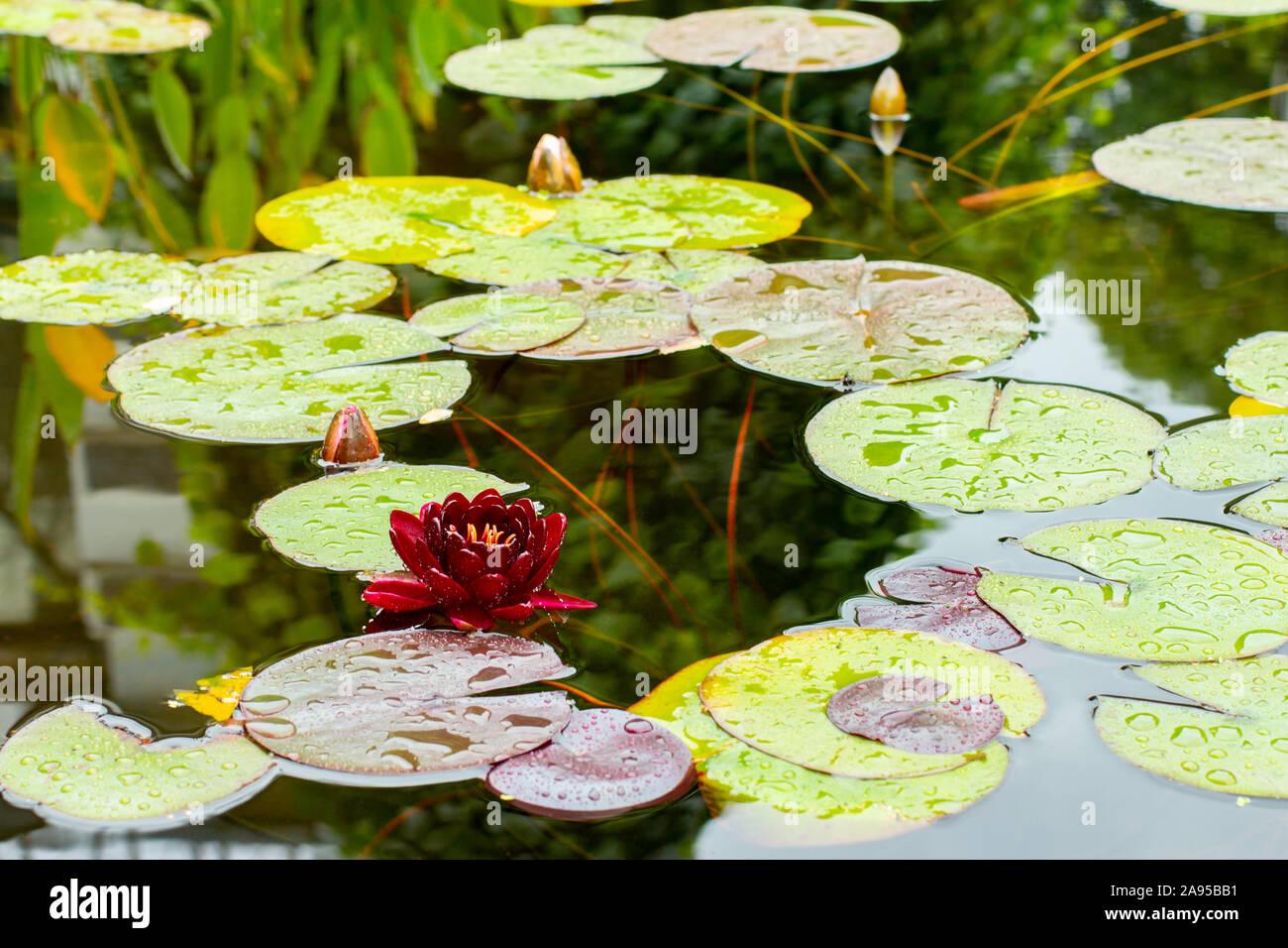 rote See-Rose Burgundi Gartenteichdekoration Pflanzen für den japanischen Garten