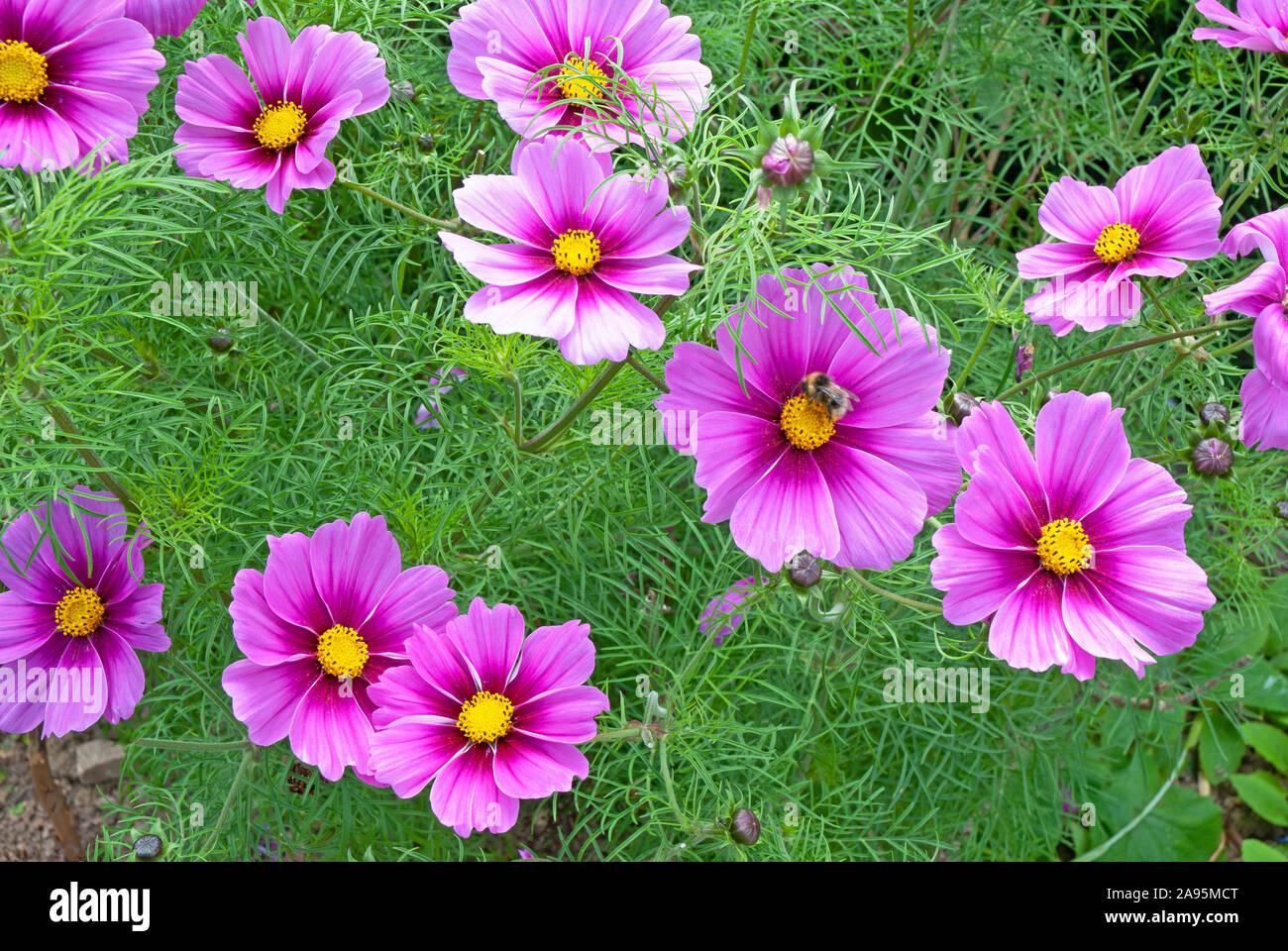 Dunkel rosa/lila Kosmos Sensation (Cosmos Bipinnatus) Blumen in einem Garten - Cornwall Cornwall, Großbritannien Stockfoto