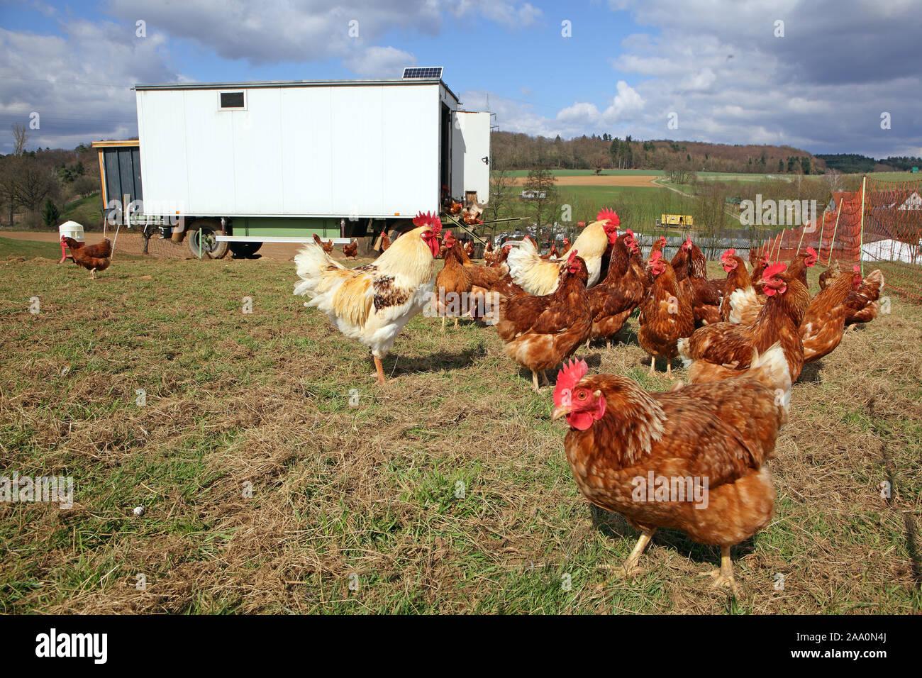 Hühner in Freilandhaltung mit Auslauf in einer Wiese. Im Hintergrund steht ein mobiles Hühnerhaus. Stockfoto