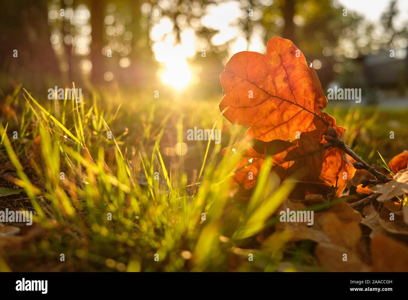 In der Nähe von schönen Herbst Blätter einer Eiche auf dem Boden liegend im Gras in der Hintergrundbeleuchtung auf den Sonnenuntergang unter Bäumen rund um Stockfoto