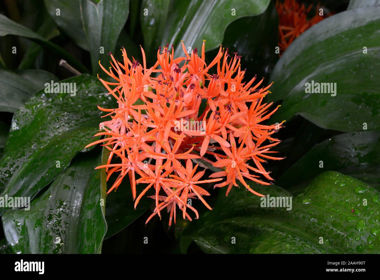 Roter Scadoxus (Scadoxus cinnabarinus) Vorkommen Afrika Stockfoto