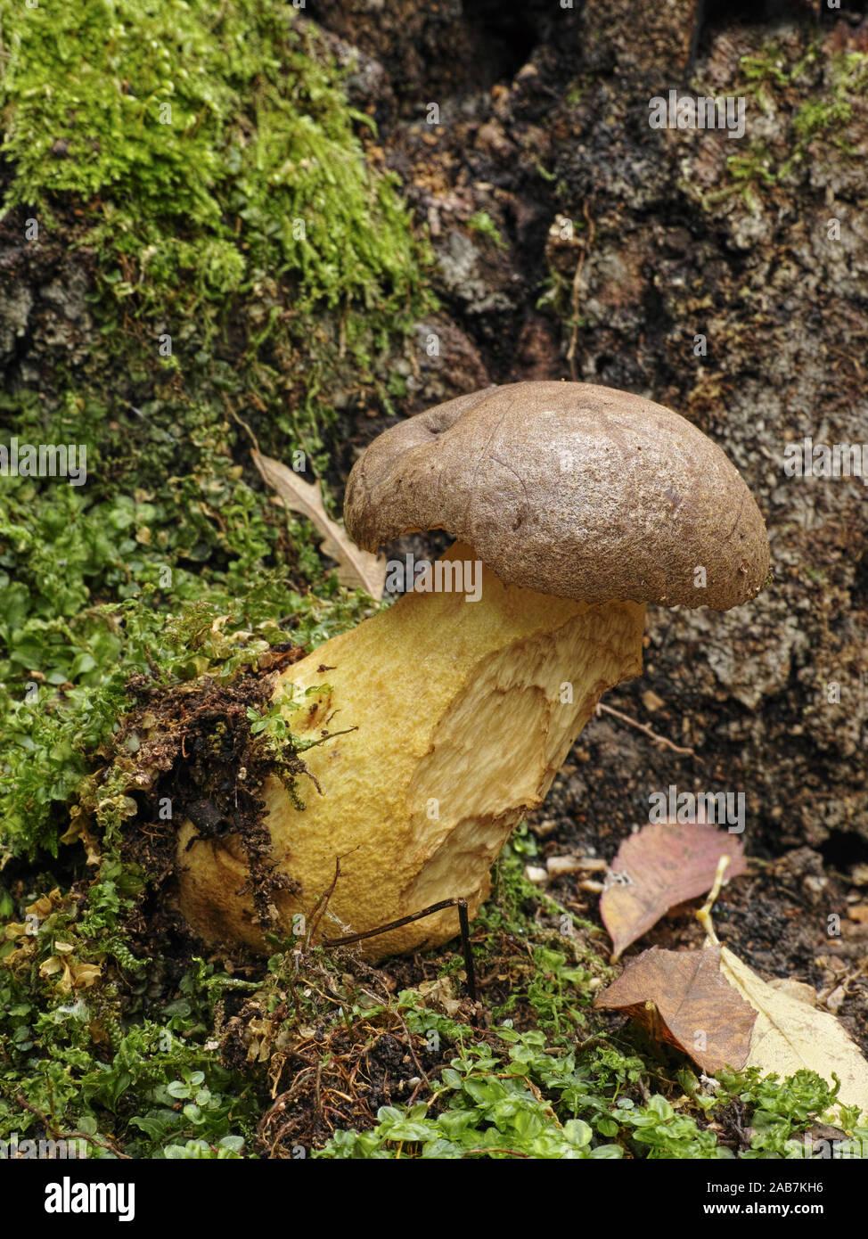Form Steinpilz Länge : 6 cm Giessform 1 Pilz