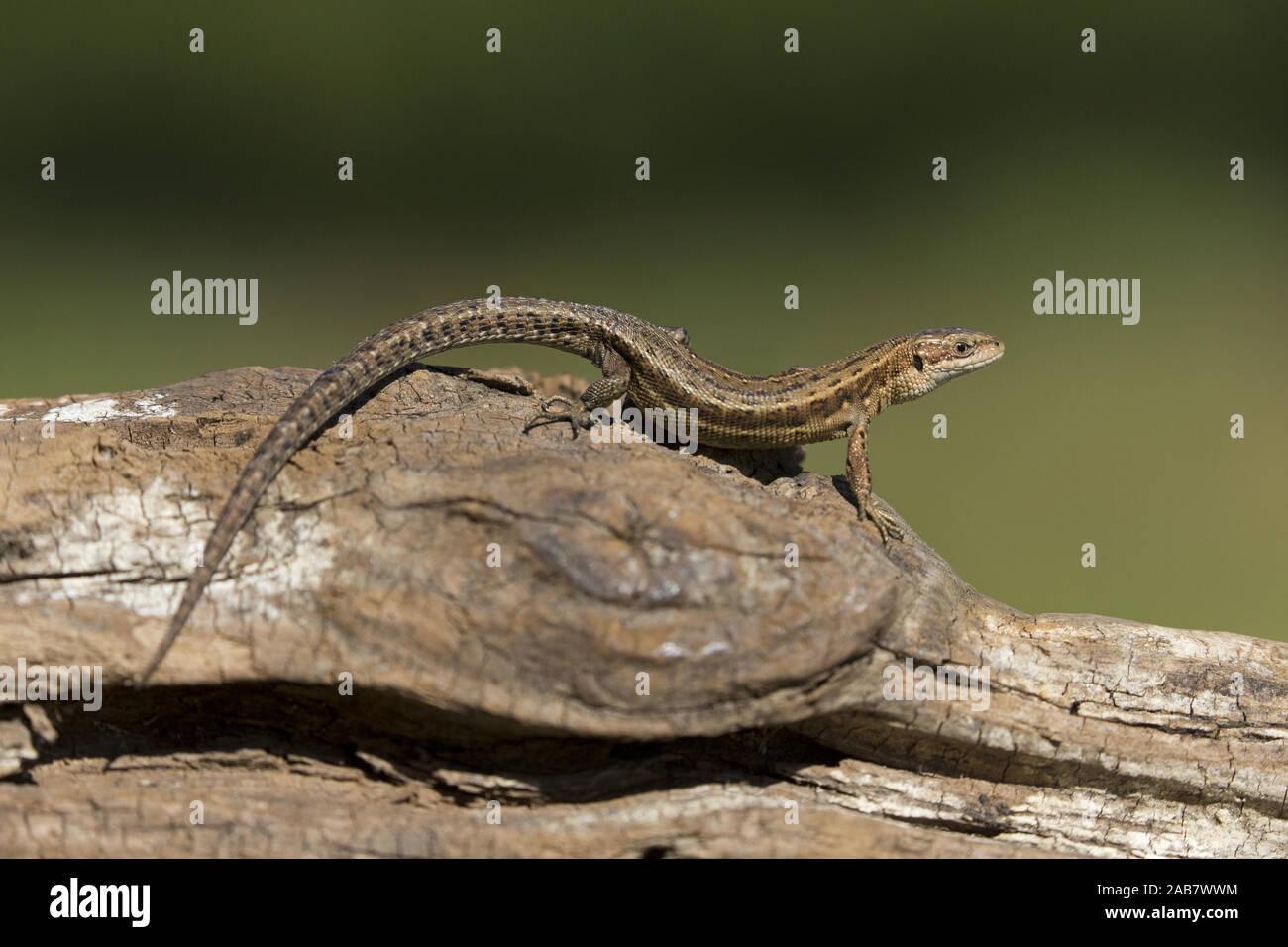Gemeinsame Lizard (Zootoca Vivipara) Erwachsenen, Sonnenbaden auf den Log, Suffolk, England, UK, Juni Stockfoto