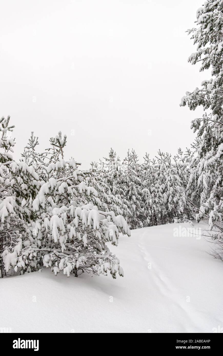 Verschneiten Winterwald. Stockfoto