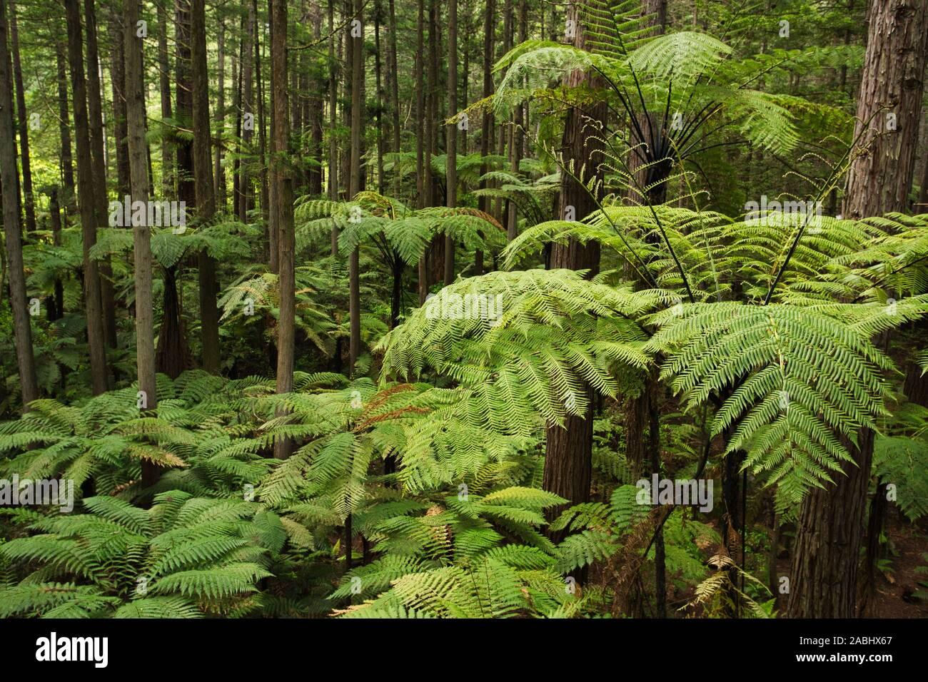 Wald von Baumfarne und riesigen Redwoods in Whakarewarewa Forest in der Nähe von Rotorua, Neuseeland Stockfoto