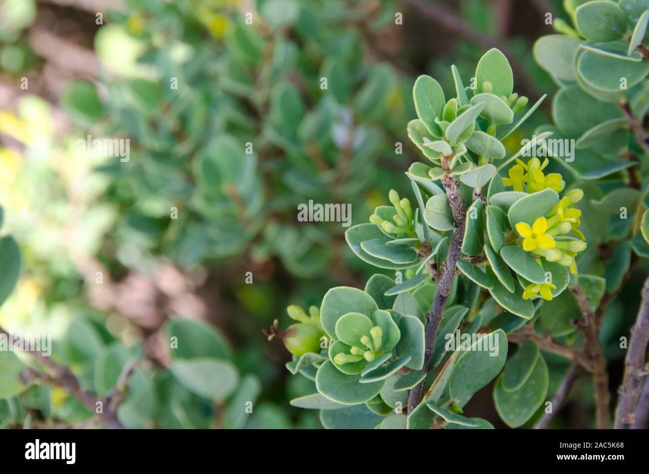 Der gebürtige Hawaiianer 'Akia Pflanze ist entweder männlich oder weiblich. Die weiblichen Pflanzen, nach der Blüte, produzieren attraktive runde Früchte, sind gelb, orange oder r Stockfoto