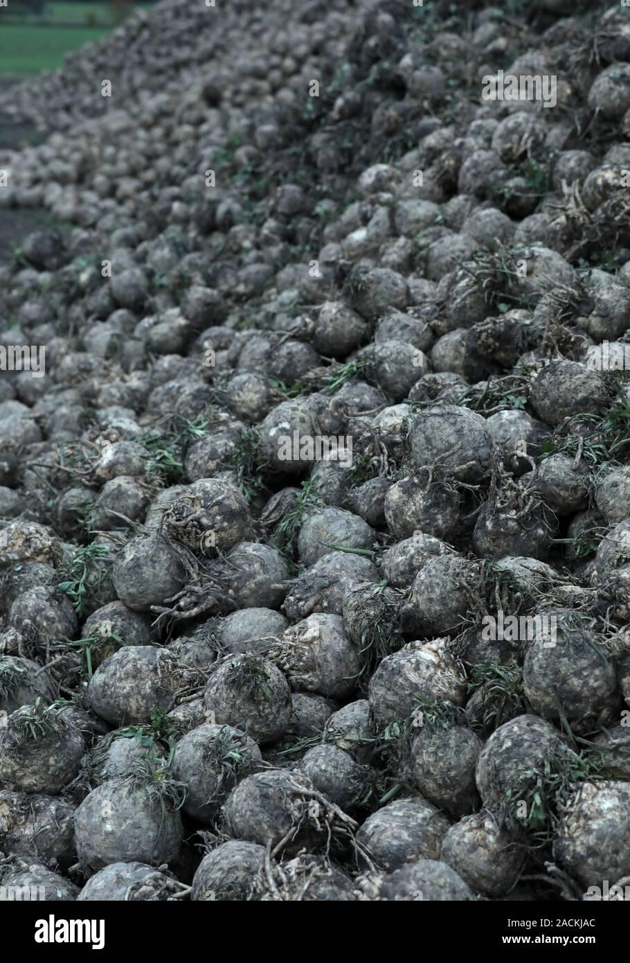 Zuckerrüben auf einem Feld Stockfoto