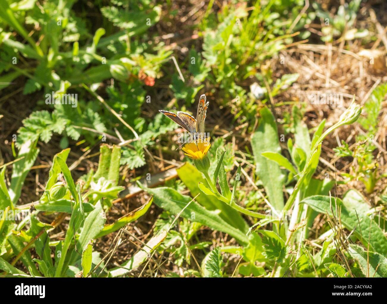 Aricia Cramera, Southern Brown Argus Schmetterling Stockfoto