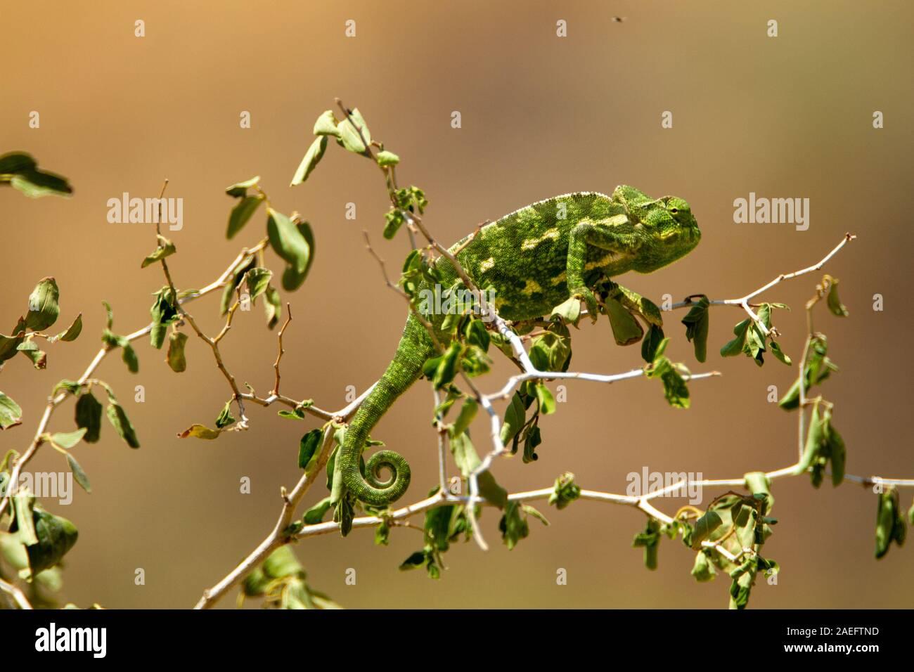 Mediterrane Chamäleon, AKA gemeinsame Jemenchamäleon (Chamaeleo chamaeleon) in Israel fotografiert. Stockfoto