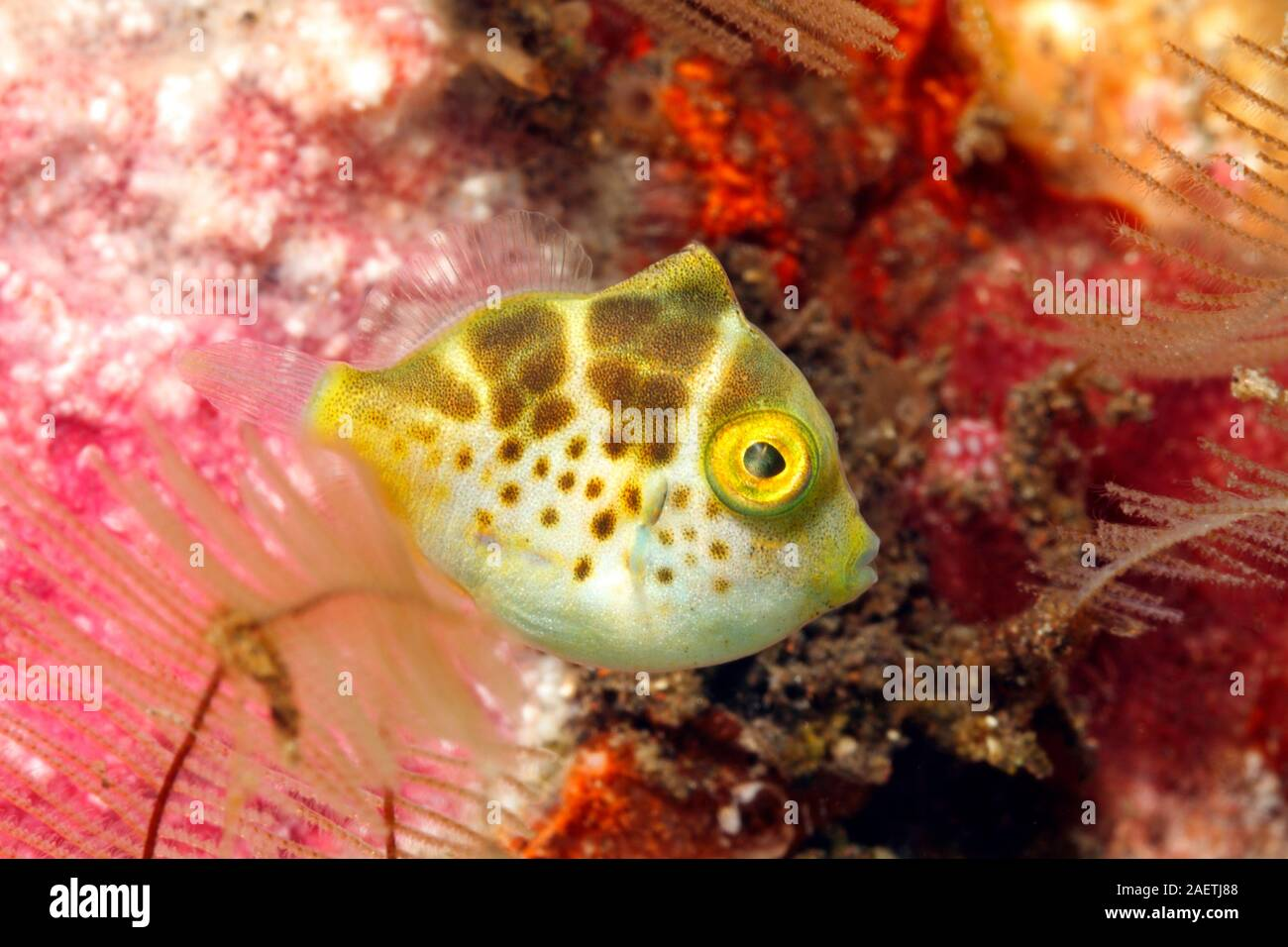 Mimic Filefish, Paraluteres prionurus. Jugendfärbung. Diese Fische imitieren die Black-Saddled Toby, Canthigaster valentini. Tulamben, Bali Stockfoto