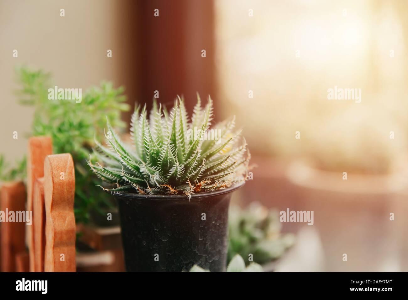 Mini saftige mit weichen Stachel im Kübelgarten bei Windows grün Home Decor indoor Anlage. Stockfoto