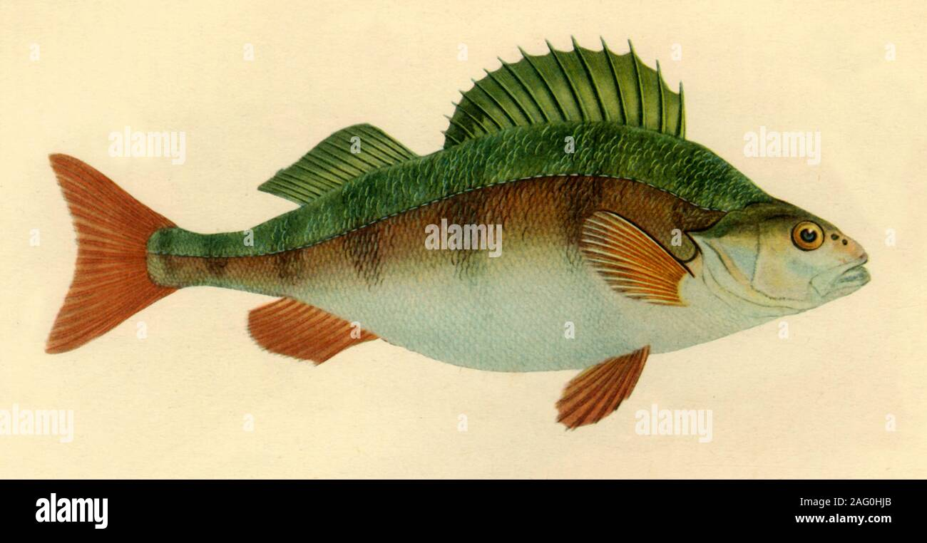 """Zander, 1804, (1946). Süßwasserfische, Illustration von Edward Donovan aus seiner """"natürlichen Geschichte der britischen Fische"""". In """"Britische Angler """"Natural History"""", das von E. G. Boulenger. [Collins, London, 1946] Stockfoto"""