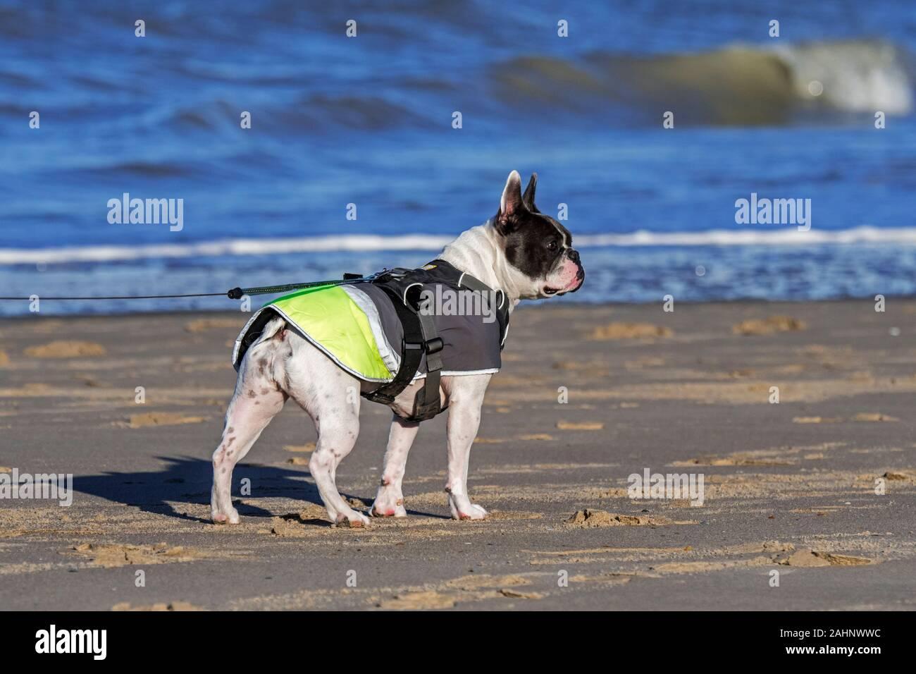 Bulldogge Geschirr Stockfotos Und Bilder Kaufen Alamy