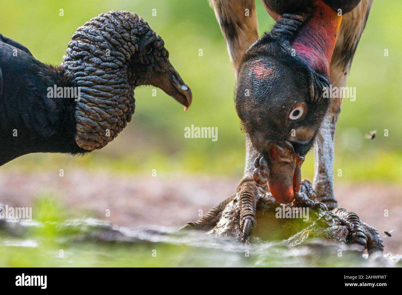 Aasvogel Stockfotos Und Bilder Kaufen Alamy