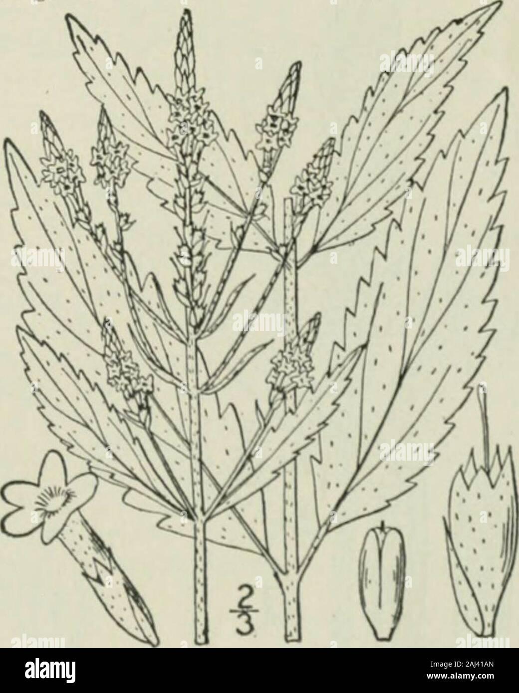 Eine Illustrierte Flora von der nördlichen USA, Kanada und die britischen Besitzungen: von Neufundland zu den Parallelen der südlichen Grenze von Virginia und vom Atlantik westwärts nach dem 102 Meridian. Stockfoto
