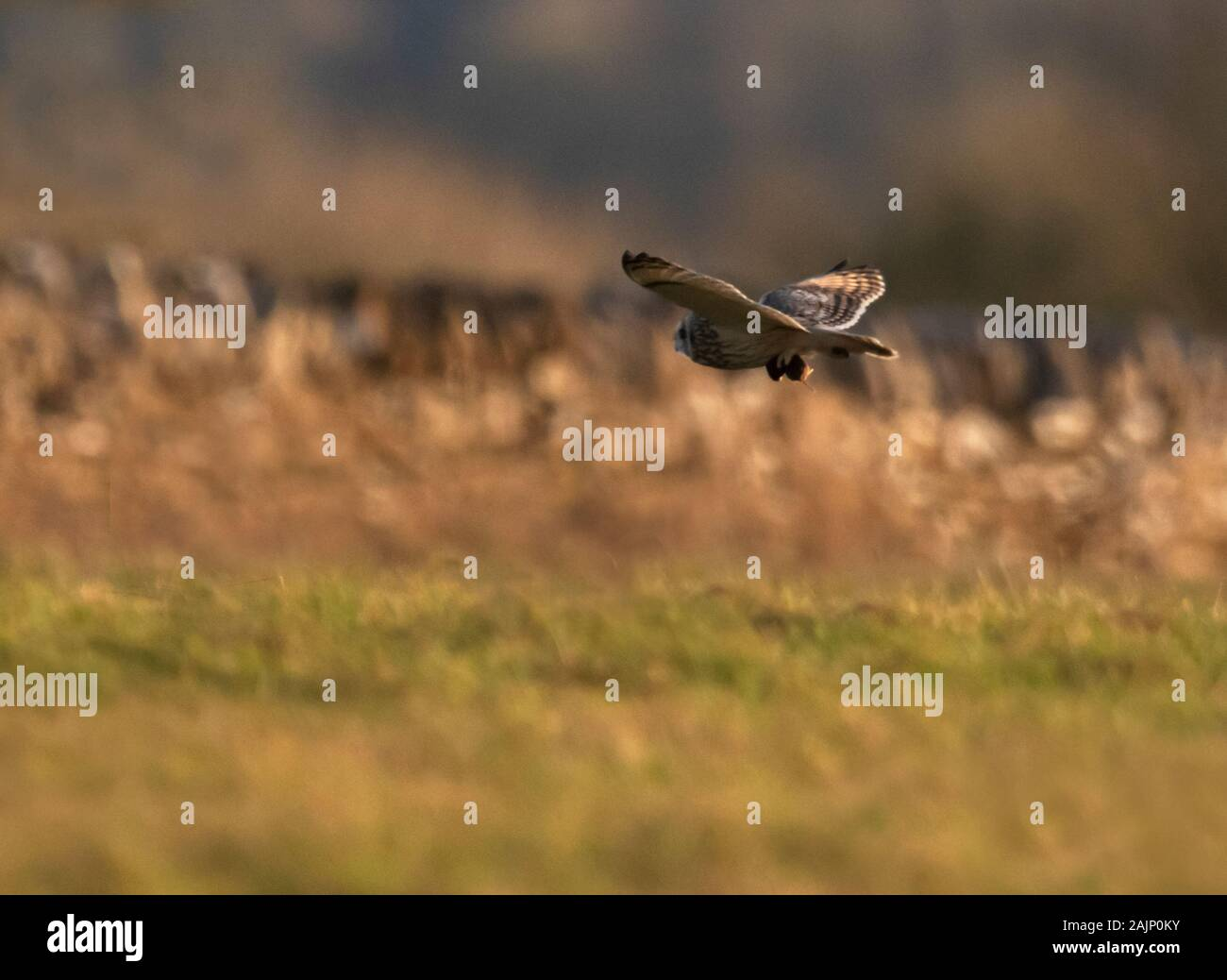 Eine wilde Short Eared Owl (Asio Flammeus) die Beute in der talons, Cotswolds, Gloucestershire Stockfoto
