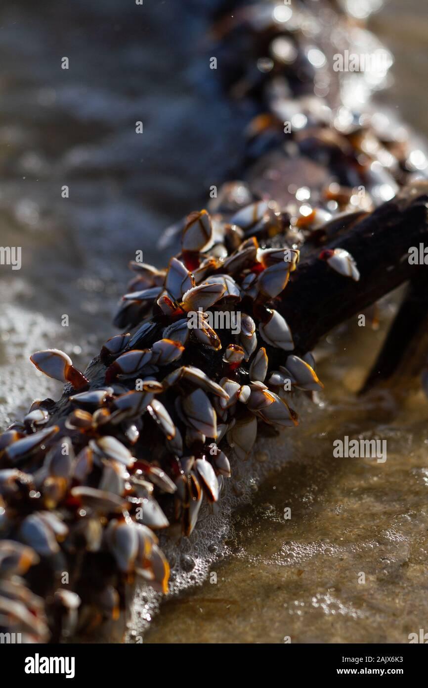 Schwanenhals Barnacle Venusmuscheln Stockfoto