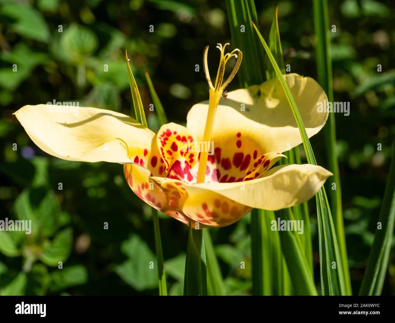 5 Tigridia Pavonia Tiger Flower Samen Blumen Samen Mexico Samen