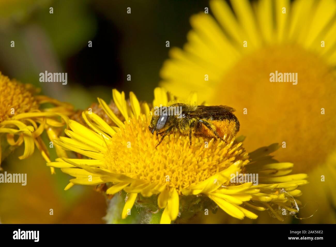 Spined Maurer - Biene - Osmia spinulosa Stockfoto