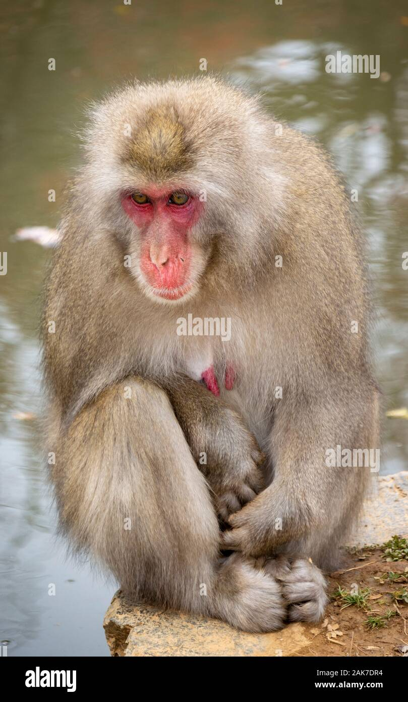 Japanische macaque Affen in Iwatayama Monkey Park Arashiyama, Kyoto, Japan Stockfoto