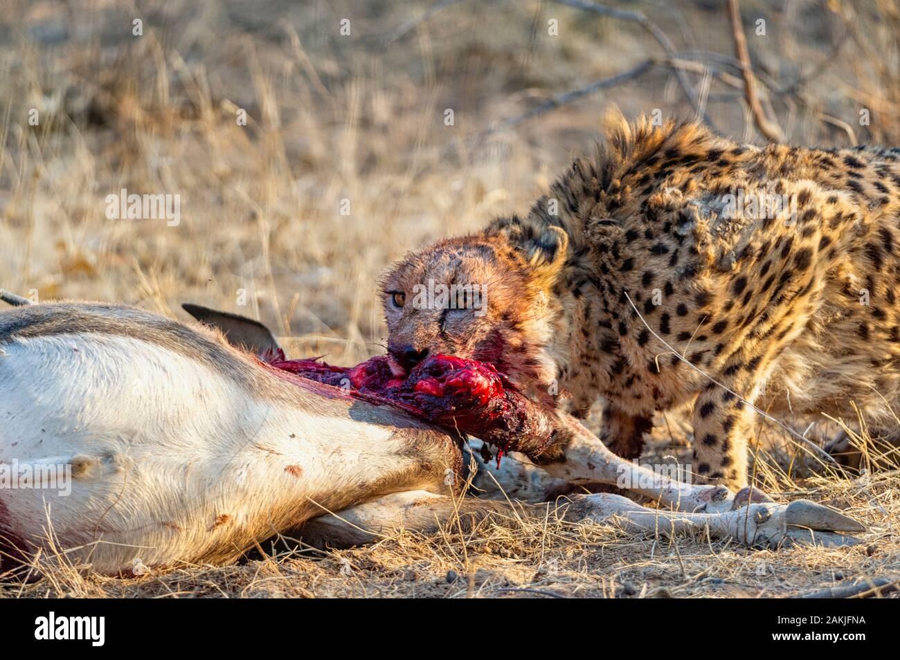 Namibia, Afrika. Geparden jagen Oryx auf Okonjima finden Stockfoto