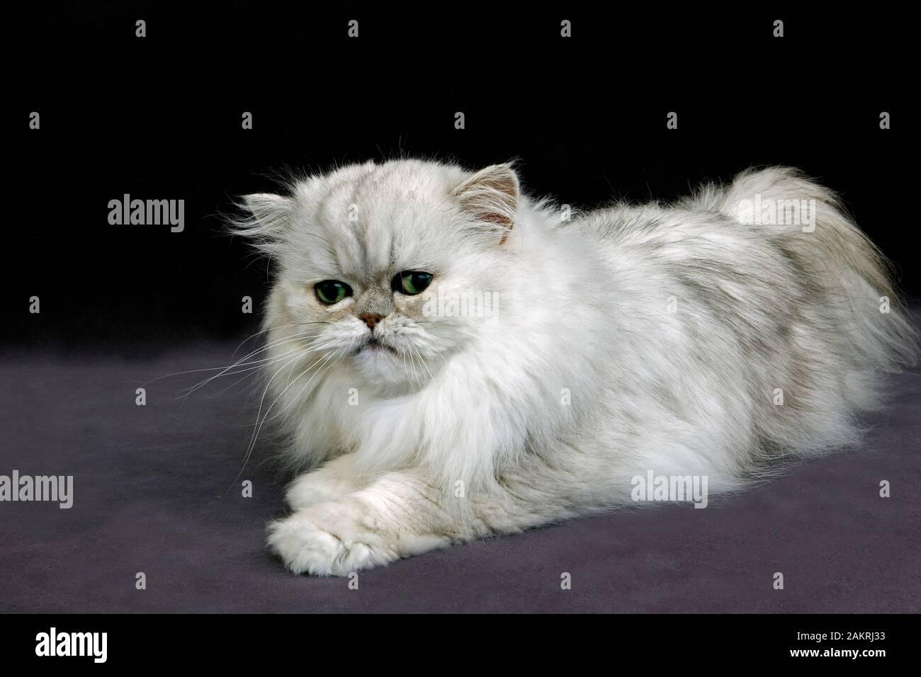 Persische Katze Der Silbernen Chinchilla Stockfotos Und Bilder Kaufen Alamy