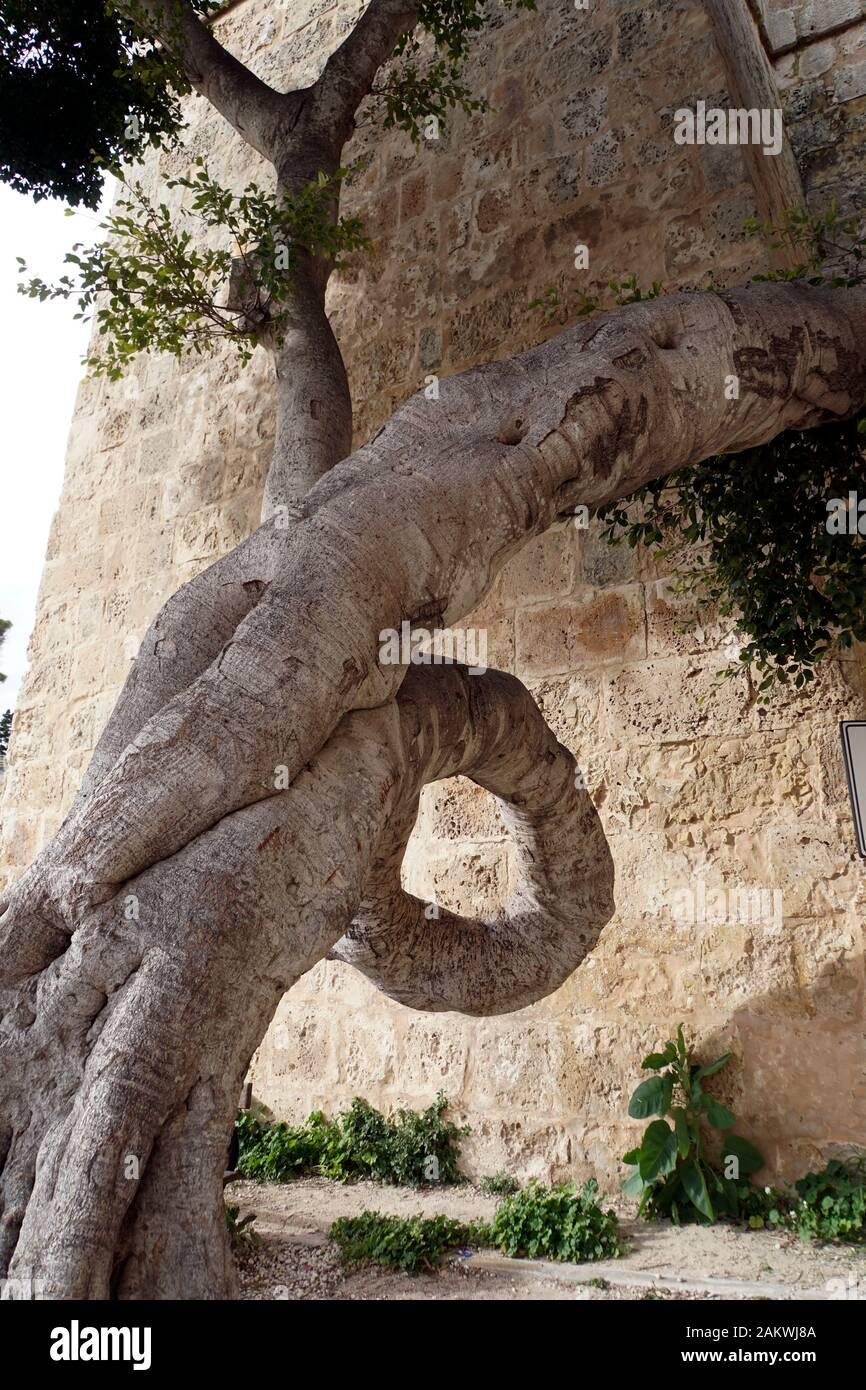 Skurril Gewachsener Lorbeerbaum vor dem Griechen-Tor, Mdina, Malta Stockfoto
