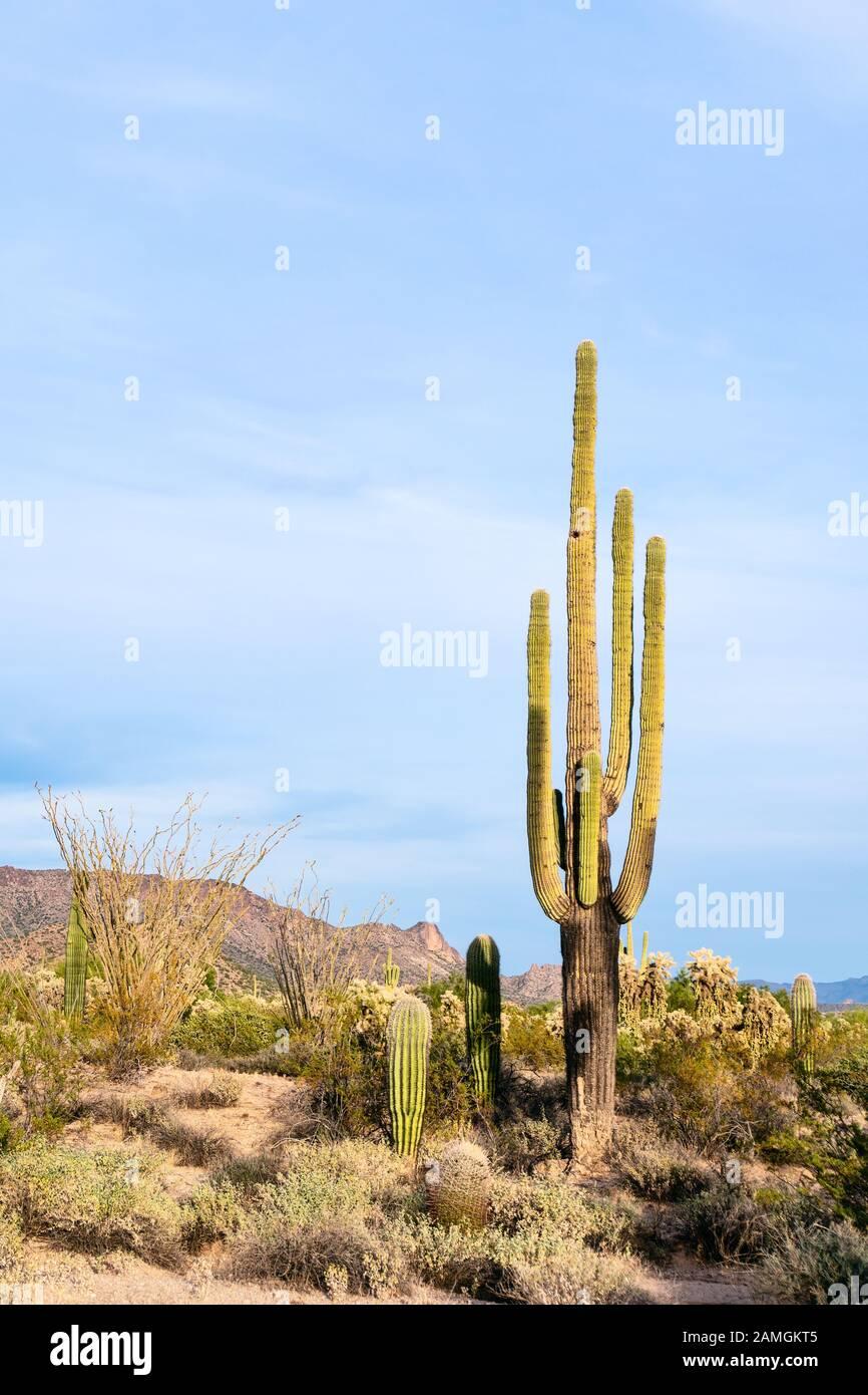 Saguaro Kaktus (Carnegiea gigantea) in der Wüste bei Phoenix, Arizona. Stockfoto