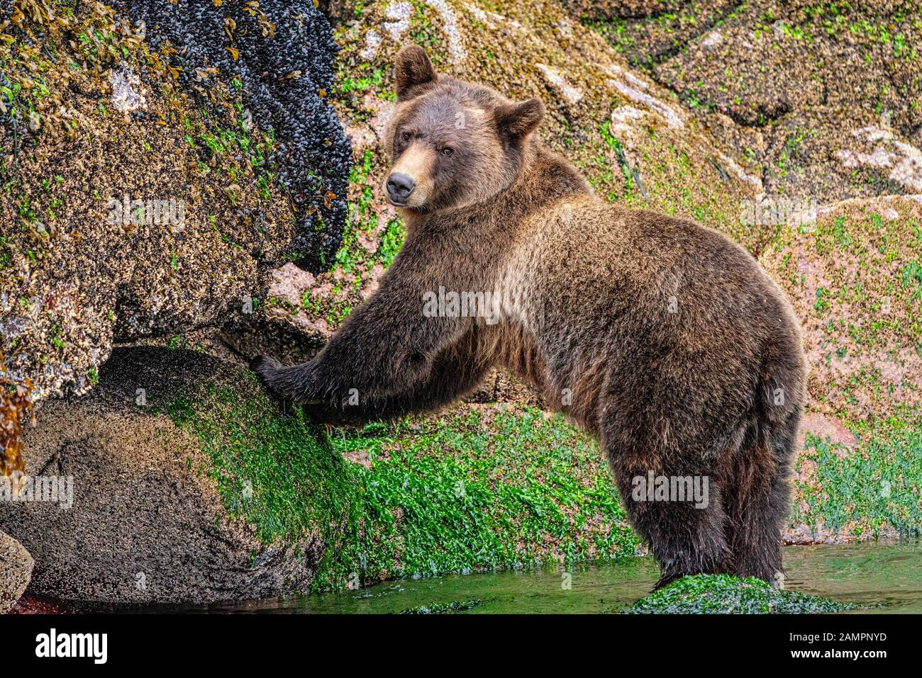 Grizzly Bär, der auf Muscheln entlang der Niedrigwasserlinie in Knight Inlet, First Nations Territory, British Columbia, Kanada, aufforst. Stockfoto