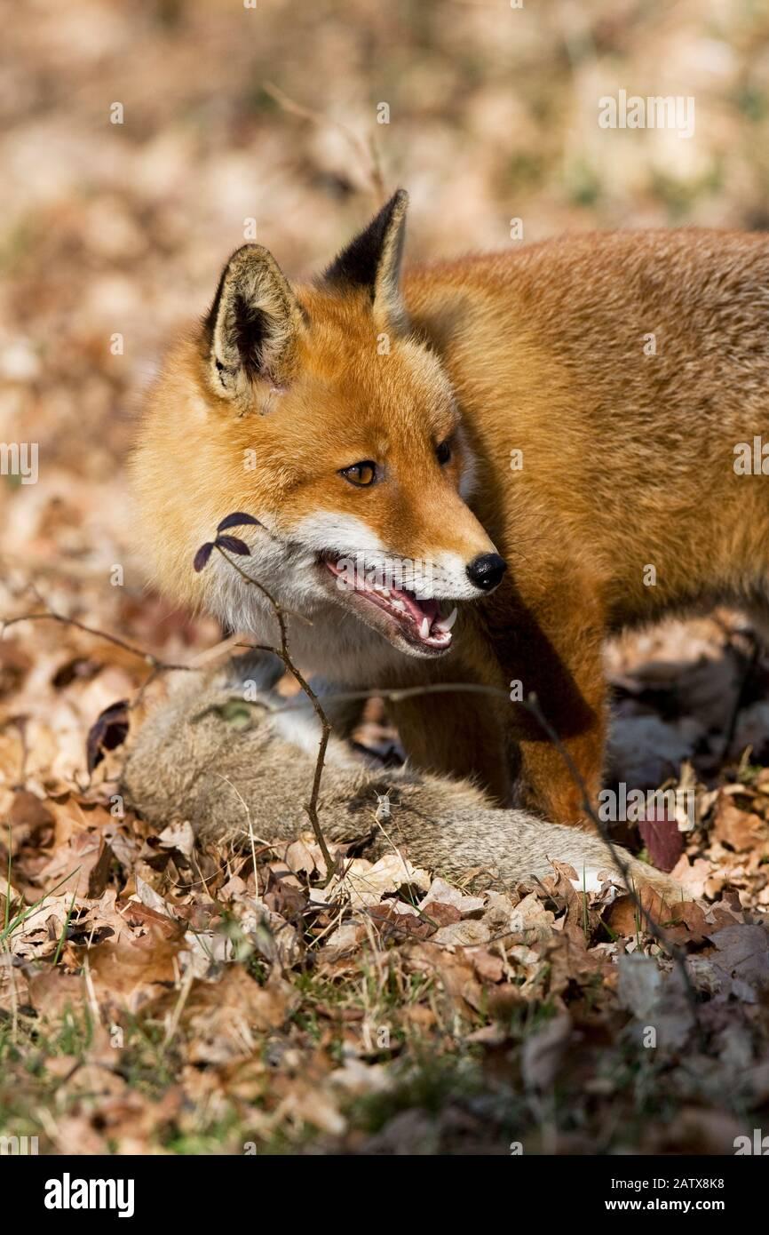 Rotfuchs Vulpes Vulpes, Männchen jagen wilde Kaninchen, Normandie Stockfoto