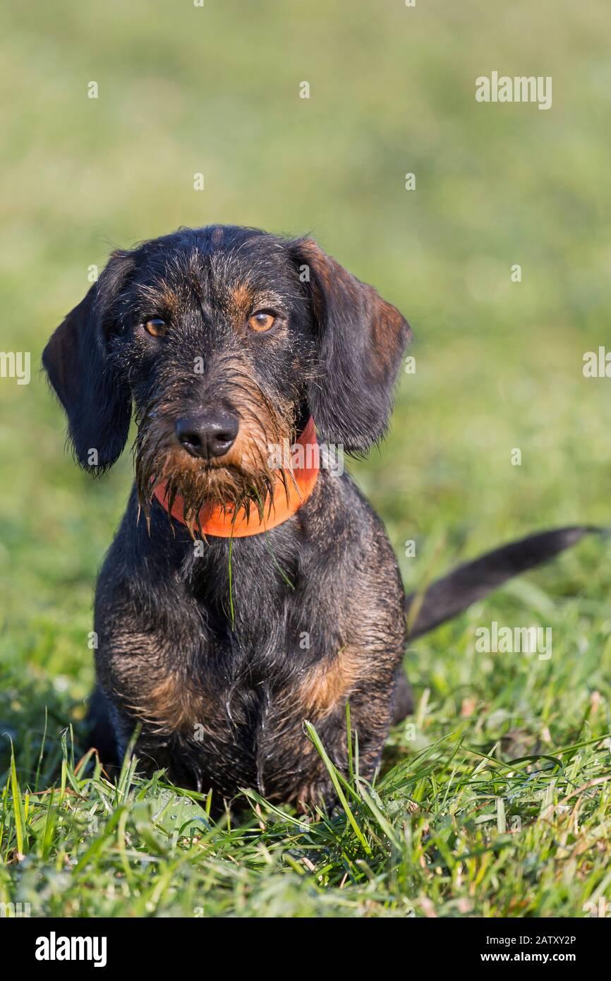 Drahthaarige Dachshund/wirthaarige Dachshund, kurzbeinige, langbärtige, hundartige Hunderasse brüten auf dem Rasen im Garten Stockfoto