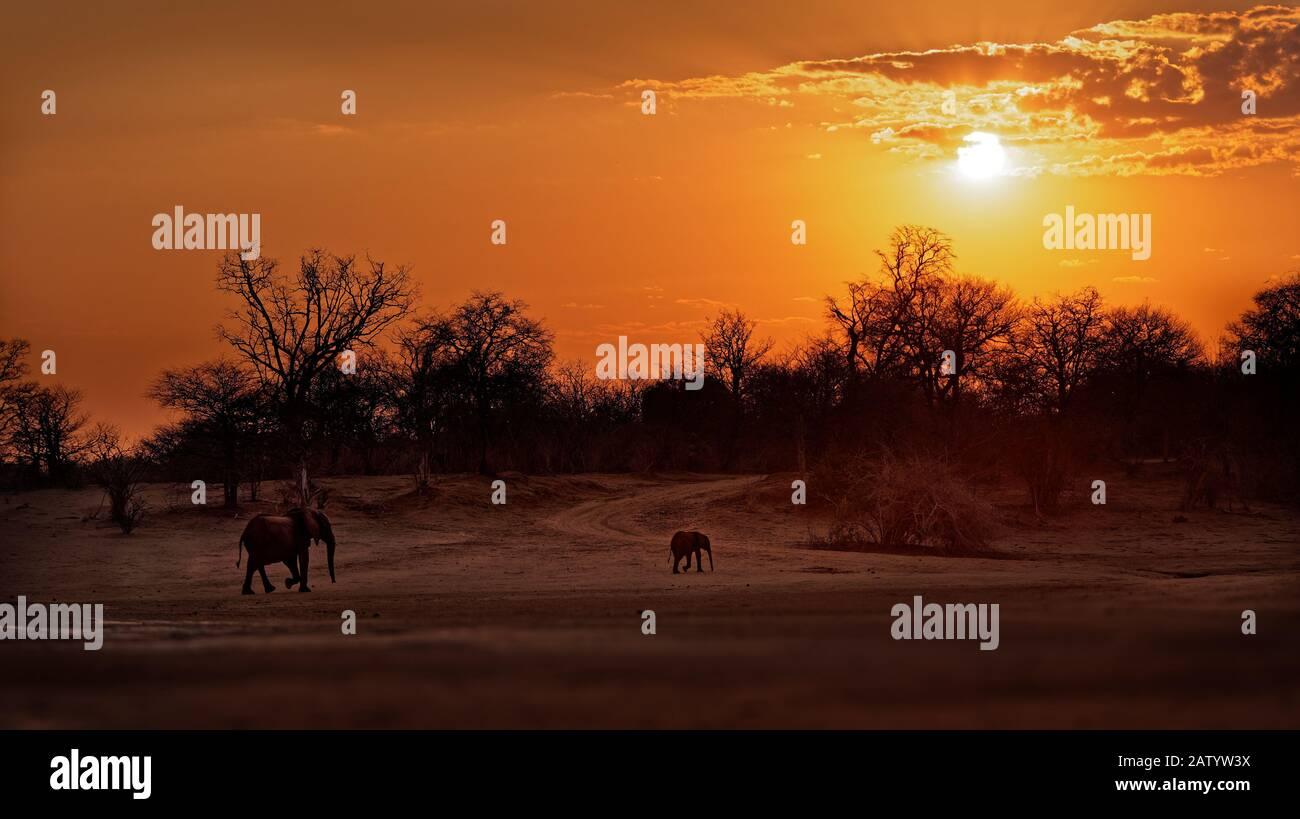 Afrikanischer Bush Elephant - Loxodonta africana Baby Elephant mit seiner Mutter, der bei Sonnenuntergang oder Sonnenaufgang in Mana Pools in Simbabwe spazieren geht (Dämmerung und Morgengrauen), Stockfoto