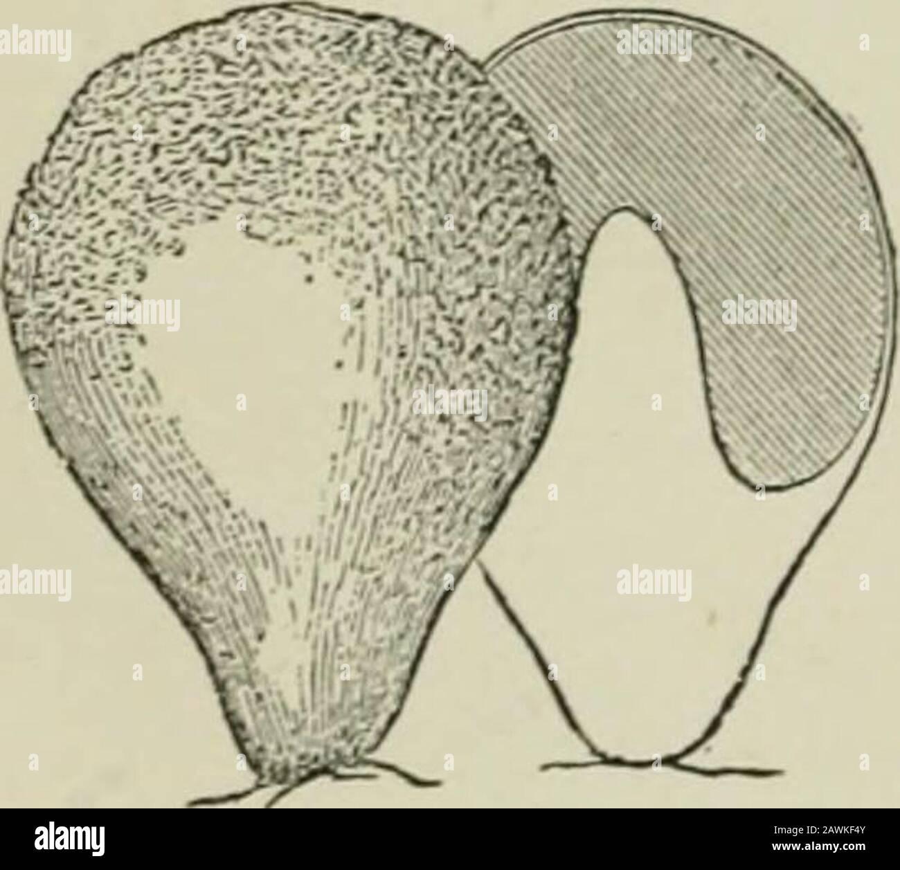 Einführung in die Untersuchung von Pilzen: Ihre Organographie, Klassifizierung und Verteilung für die Verwendung von Sammlern . riesenartig von Polystictus und anderen oben genannten. Die nächste Form des Gefäßes, das adduced werden soll, ist das Peridium, das die Fortpflanzungsorgane vollständig umschließt, und Mayauch auf einem ausgeprägten Karpophore unterstützt wird, oder es kann wie bei einigen Subterraneanarten Sessileon das Myzel sein oder von diesem investiert werden. Die Gastromyceten versorgen diese Art von Gefäß, das sehr oft doppelt, typicallyglobose, der Außenmantel oder das Exoperidiumsein ist eine Fortsetzung des Cortexons der Karpophore, wenn Stockfoto
