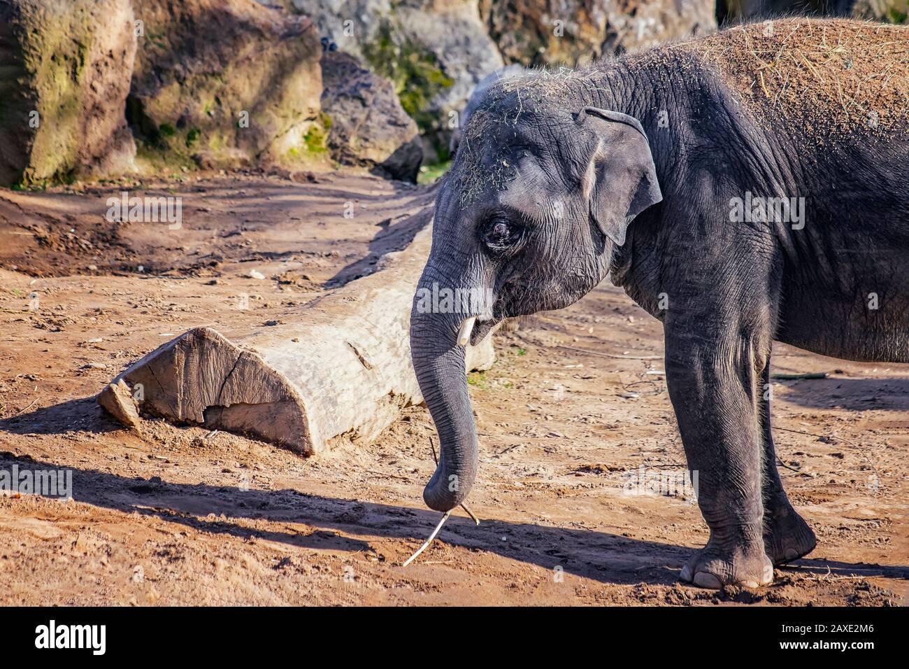 Nahaufnahme des niedlichen Baby-Elefanten. Der asiatische Elefant, auch asiatischer Elefant genannt. Trunk hält einen Ast und isst ihn. Die Art ist verbreitet Stockfoto